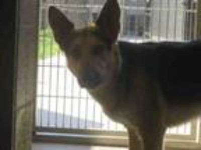 Adopt JASPER a German Shepherd Dog