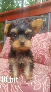 Yorkshire Terrier PUPPY FOR SALE ADN-83175 - home raised and very lovable yorkies