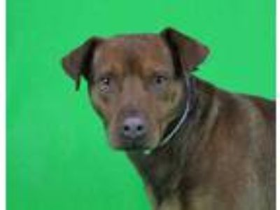 Adopt Clifford (Waived Fee) a Brown/Chocolate Labrador Retriever / Mixed dog in
