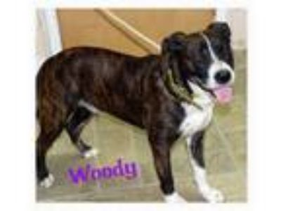 Adopt Woody a Pit Bull Terrier, Boxer
