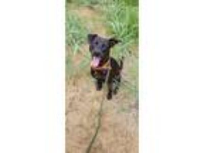 Adopt Cole a Black Labrador Retriever / Mixed dog in Justin, TX (22160498)