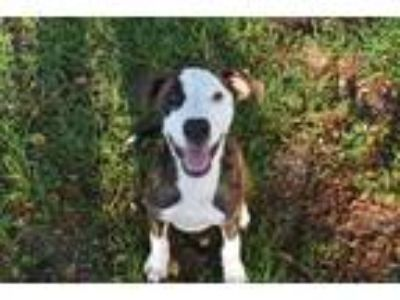 Adopt MACK a Brindle - with White Hound (Unknown Type) / American Pit Bull