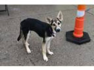 Adopt Nell a German Shepherd Dog