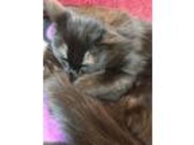 Adopt K C a Domestic Mediumhair / Mixed cat in Stratham, NH (25544817)