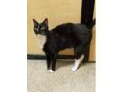 Adopt Manga a Black & White or Tuxedo Domestic Shorthair (short coat) cat in