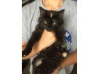 Adopt Punky a Domestic Long Hair