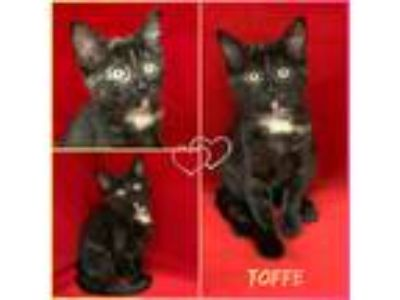 Adopt Toffe a Tortoiseshell Domestic Shorthair (short coat) cat in