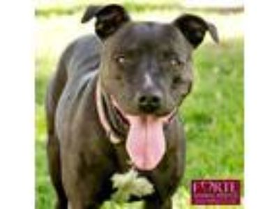 Adopt Roxy a American Staffordshire Terrier, Cattle Dog