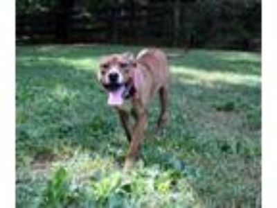 Adopt Rose a Boxer, American Staffordshire Terrier