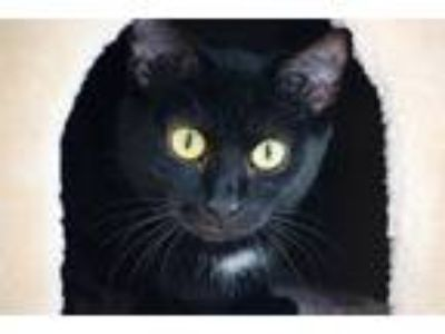 Adopt Pita a All Black Domestic Shorthair (short coat) cat in Knoxville