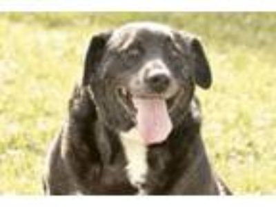Adopt Bella a Labrador Retriever, Border Collie
