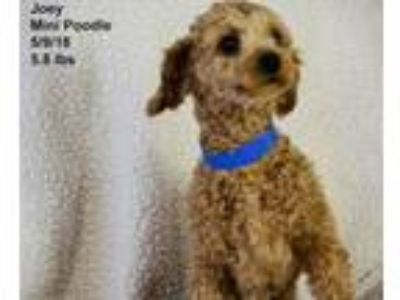 Adopt Joey a Poodle
