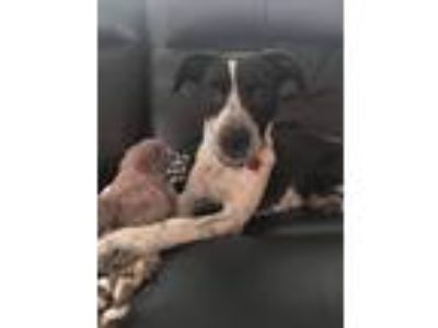 Adopt Betty Boop _ LA a Wirehaired Terrier, Spaniel