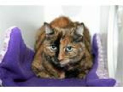 Adopt Gemma a Domestic Short Hair