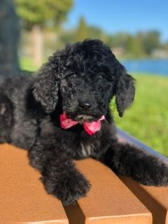 Goldendoodle PUPPY FOR SALE ADN-105324 - Joy F1b  Goldendoodle