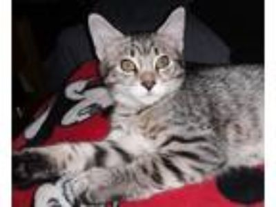 Adopt DianaPrince a Brown Tabby Domestic Shorthair (short coat) cat in North
