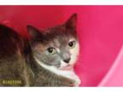 Adopt TRIXIE a Gray or Blue (Mostly) Domestic Shorthair / Mixed (short coat) cat