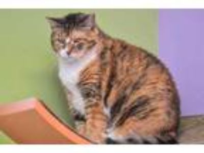 Adopt Cassie a Orange or Red Domestic Shorthair / Domestic Shorthair / Mixed cat