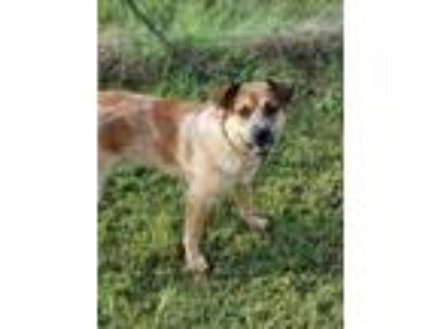 Adopt *Abram a Australian Cattle Dog / Blue Heeler