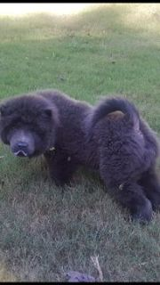 Chow Chow PUPPY FOR SALE ADN-96079 - 3 Month Old Blue Male Chow Chow