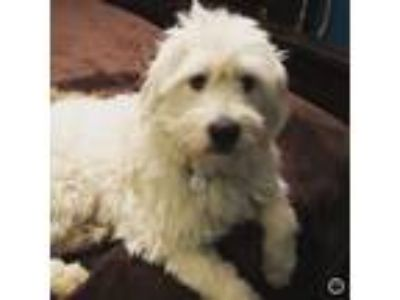 Adopt Astro a Great Pyrenees, Poodle
