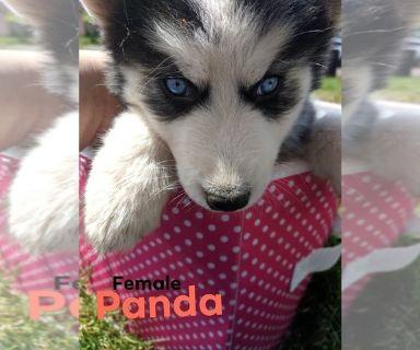 Siberian Husky PUPPY FOR SALE ADN-130805 - Panda