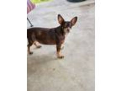 Adopt Snickers a Brown/Chocolate - with White Dachshund / Mixed dog in Leander