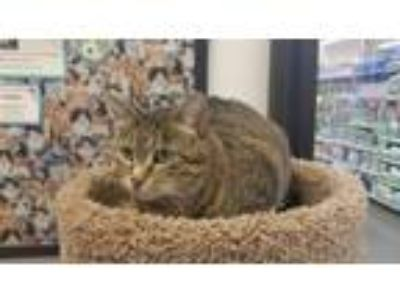 Adopt Queen Tika a Domestic Short Hair