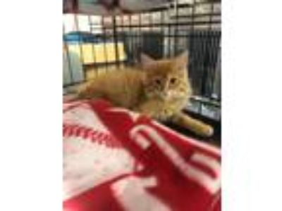 Adopt Oakley a Orange or Red Tabby Domestic Longhair (long coat) cat in