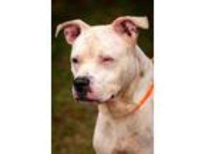 Adopt Sissy a Pit Bull Terrier
