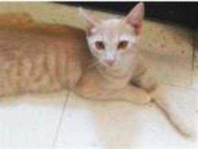 Adopt Stevie a Tan or Fawn Domestic Shorthair / Domestic Shorthair / Mixed cat