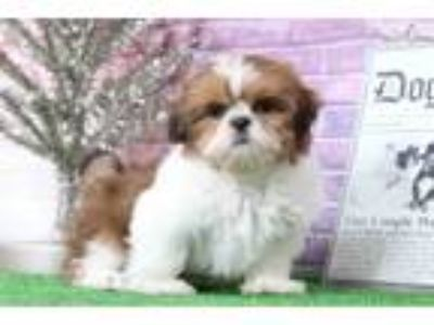 Gus Male Shih-Tzu Puppy