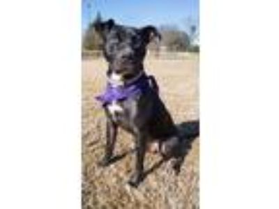 Adopt Tank a Black Pit Bull Terrier / Mixed dog in Durham, NC (24362363)