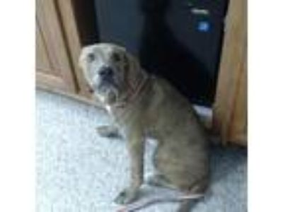 Adopt Salt a Tan/Yellow/Fawn Hound (Unknown Type) / Catahoula Leopard Dog dog in