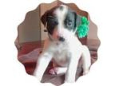 Adopt Ready Sat., June 15th a Australian Cattle Dog / Blue Heeler, Collie