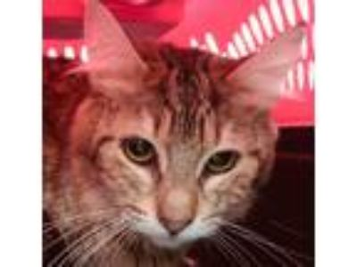 Adopt Monica a Domestic Shorthair / Mixed cat in San Diego, CA (25325932)