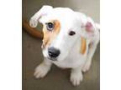 Adopt Jessica a White Hound (Unknown Type) / Shepherd (Unknown Type) / Mixed dog