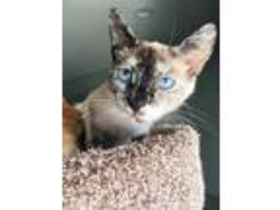 Adopt Hazel a Cream or Ivory (Mostly) Siamese (short coat) cat in Mission Viejo