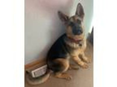 Adopt Soul a Black - with Tan, Yellow or Fawn German Shepherd Dog / Mixed dog in