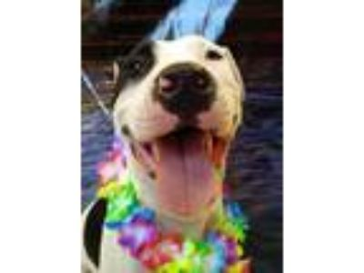 Adopt Stevo a White American Pit Bull Terrier / Mixed dog in Madera