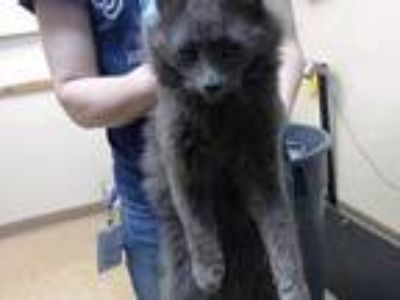 Adopt *GRIFFIN a Gray or Blue Domestic Shorthair / Mixed (short coat) cat in