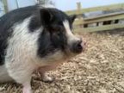 Adopt Charlie and Charolette a Pig (Potbellied) farm-type animal in Plainfield