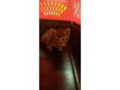 Adopt Tide a Gray or Blue Domestic Shorthair / Domestic Shorthair / Mixed cat in