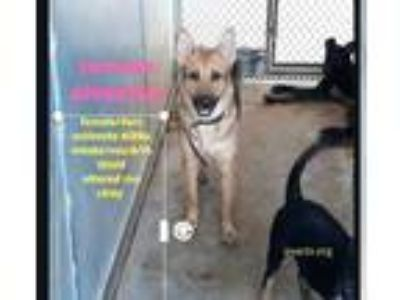 Adopt Tammie a Black Shepherd (Unknown Type) / Mixed dog in Edinburg