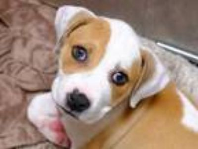 Adopt PRISCILLA a Tan/Yellow/Fawn American Pit Bull Terrier / Mixed dog in