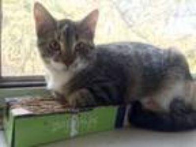 Adopt Tula Faye a American Shorthair