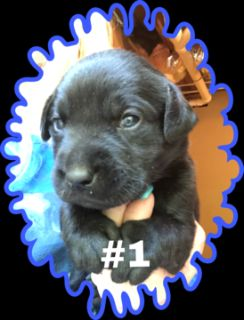 Labrador Retriever PUPPY FOR SALE ADN-80818 - Black male puppy