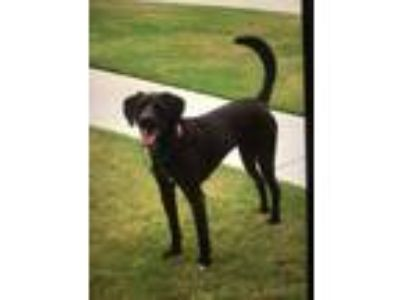 Adopt Maisy a Brown/Chocolate - with Black Labrador Retriever / Coonhound