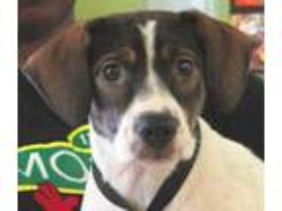 Adopt Butterball a White Beagle / Manchester Terrier / Mixed dog in West