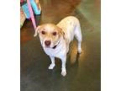 Adopt Precious a White - with Red, Golden, Orange or Chestnut Labrador Retriever